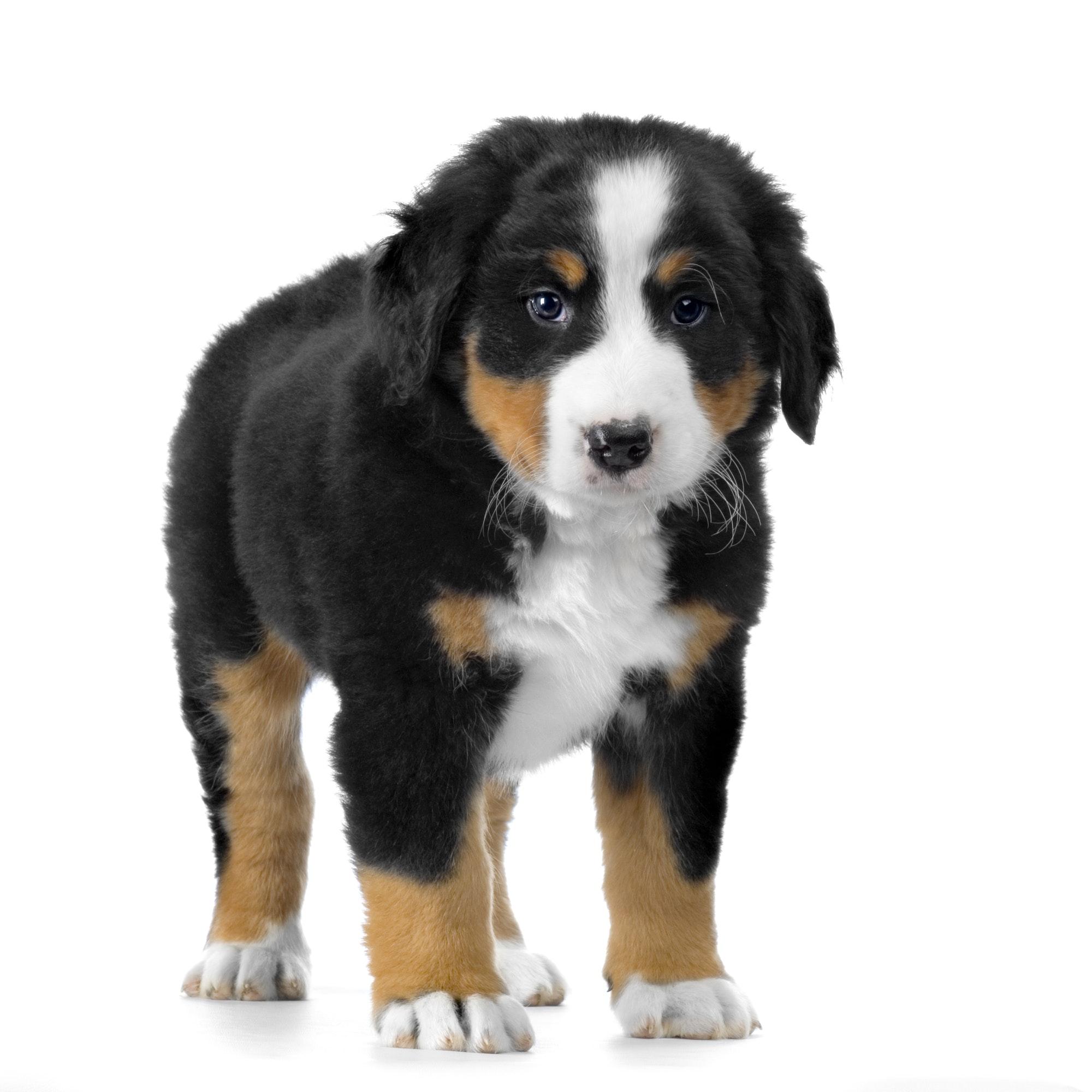 Pies z nagłówka